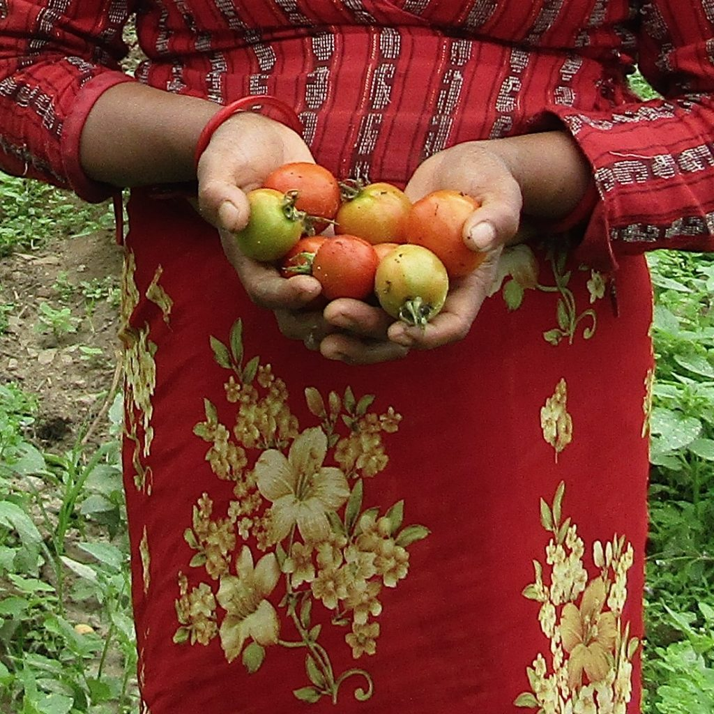 Tomato harvest of Krishna Maya in Nepal